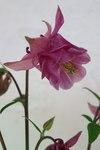 """Gewöhnliche Akelei - Aquilegia vulgaris; Bildquelle: © <a href=""""https://www.pflanzen-deutschland.de/quellen.php?bild_quelle=Bönisch 2009"""">Bönisch 2009</a> - <b>All rights reserved</b>"""