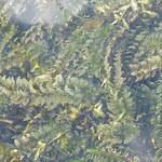 Schmalblättrige Wasserpest