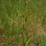 Rotes Straußgras