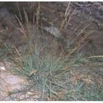 Kastilisches Straußgras