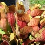 Braunrote Schlauchpflanze
