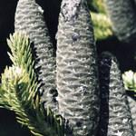 Zwerg-Balsam-Tanne