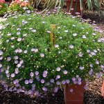 Australisches Gänseblümchen