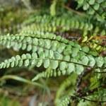 Braungrüner Serpentin-Streifenfarn
