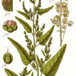 Garten-Melde