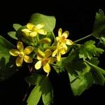 Gold-Johannisbeere