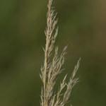 Purpur-Reitgras