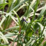 Asiatische Sumpf-Schwertlilie