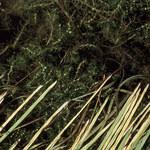 Herbst-Wasserstern