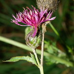 Rispen Flockenblume