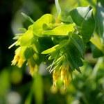 Kleine Wachsblume
