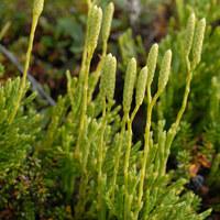 Bärlappgewächse - Lycopodiaceae