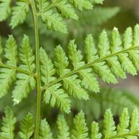 Schildfarngewächse - Aspidiaceae