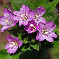 Nachtkerzengewächse - Onagraceae