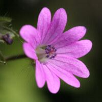 Storchschnabelgewächse - Geraniaceae