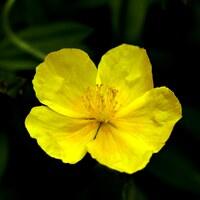 Cistrosengewächse - Cistaceae