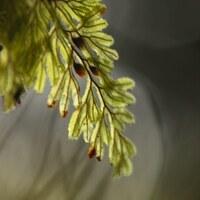 Hautfarngewächse - Hymenophyllaceae