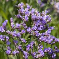 Bleiwurzgewächse - Plumbaginaceae