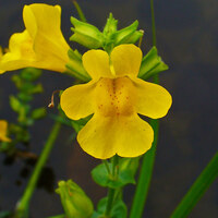 Braunwurzgewächse - Scrophulariaceae