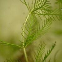 Seebeerengewächse - Haloragaceae