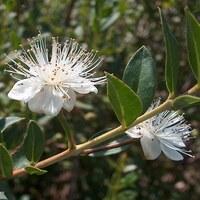 Myrtengewächse - Myrtaceae