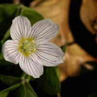 Sauerkleegewächse - Oxalidaceae