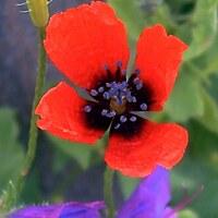Mohngewächse - Papaveraceae