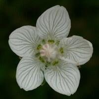 Herzblattgewächse - Parnassiaceae