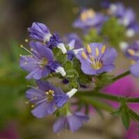 Himmelsleitergewächse - Polemioniaceae