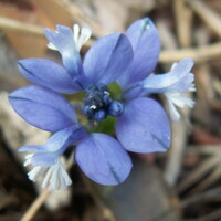 Kreuzblümchengewächse - Polygalaceae