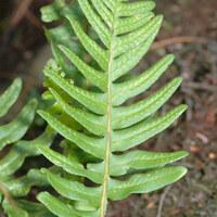Tüpfelfarngewächse (incl. Woodsiaceae) - Polypodiaceae