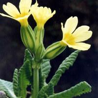 Primelgewächse - Primulaceae