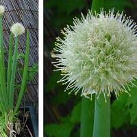 Zwiebelpflanze