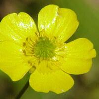 Hahnenfußgewächse - Ranunculaceae
