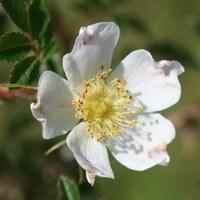 Rosengewächse - Rosaceae