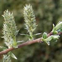 Weidengewächse - Salicaceae