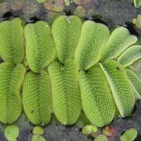 Schwimmfarngewächse - Salviniaceae