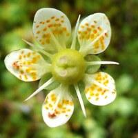 Steinbrechgewächse - Saxifragaceae