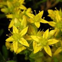Dickblattgewächse - Crassulaceae