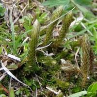 Moosfarngewächse - Selaginellaceae
