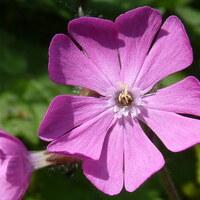 Nelkengewächse - Caryophyllaceae