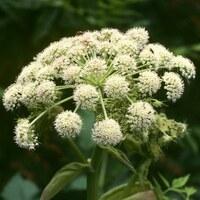 Doldenblütler - Apiaceae