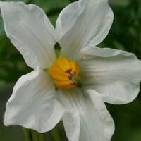 Nachtschattengewächse - Solanaceae