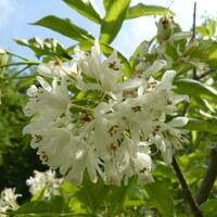 Pimpernußgewächse - Staphyleaceae