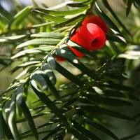 Eibengewächse - Taxaceae