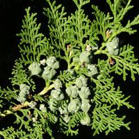 Zypressengewächse - Cupressaceae