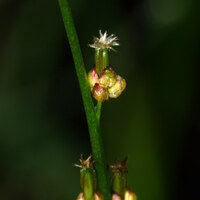 Dreizackgewächse - Juncaginaceae