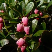 Heidekrautgewächse - Ericaceae