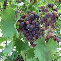 Weinrebengewächse - Vitaceae