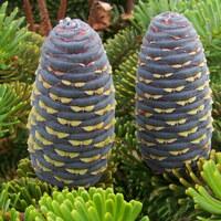 Kieferngewächse - Pinaceae